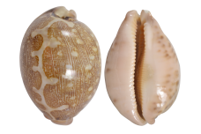 Cowrie 3